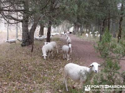 Rebaño en el camino - Senderismo Cañón del Río Lobos; clubs de senderismo en madrid